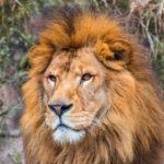ライオンはなつく?ペットにできる?かかる費用や特殊な申請などまとめ
