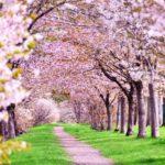 2017年花見に行くなら?開花予想と九州のオススメ花見スポットはどこ?