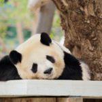 パンダはペットにできる?売ってる?現実的なパンダはこっちかな?